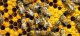 Dia Internacional das Abelhas alerta sobre crise dos polinizadores
