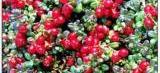 Cranberry: a fruta milagrosa que ajuda na prevenção da infecção urinária